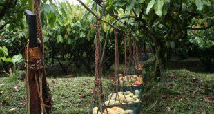 319951 310x165 - Nachhaltiger Kakaoanbau verbessert Lebensbedingungen