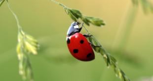 Marienkaefer 310x165 - Insektenschutz – Schädlinge mit natürlichen Mitteln fernhalten